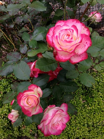Double Delight roses