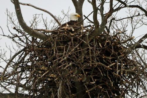 Eagles' nest March 2015